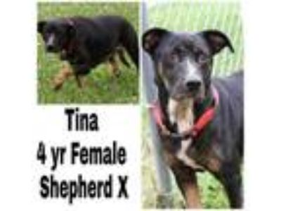 Adopt Tina a Shepherd, Mixed Breed