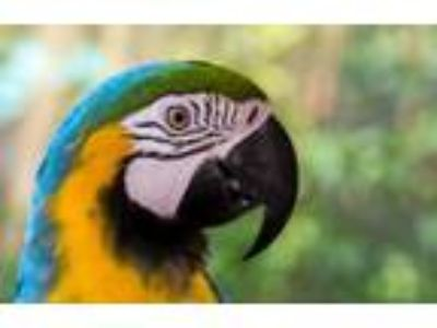 Adopt MERLIN The Blue & Gold Macaw a Macaw