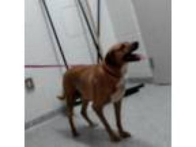 Adopt Fergie a Brown/Chocolate Black Mouth Cur / Retriever (Unknown Type) dog in