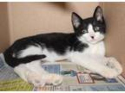 Adopt Alfa Romero a White Domestic Shorthair / Domestic Shorthair / Mixed cat in