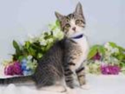 Adopt SHOELACE a Domestic Short Hair