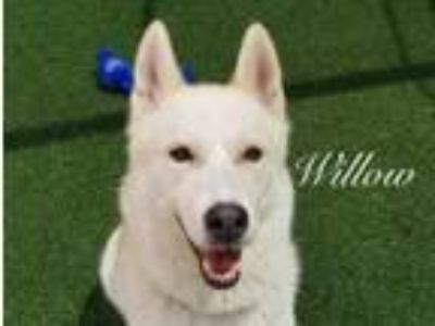 Adopt Willow a Siberian Husky