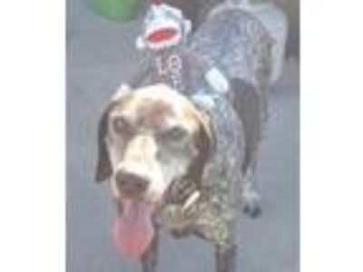 Adopt Sporty (DFW) a German Shorthaired Pointer