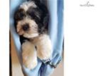 Handsome and Outgoing Male Havanese Puppy!