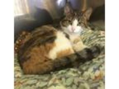 Adopt CORA a Calico or Dilute Calico Domestic Shorthair (short coat) cat in