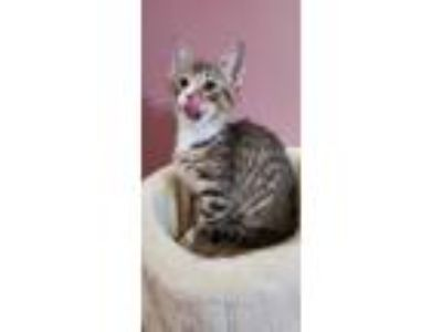 Adopt Jack a Brown Tabby Domestic Shorthair (short coat) cat in Whitehall