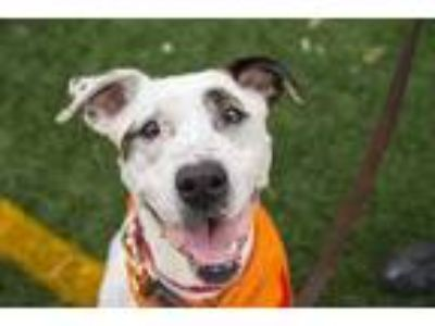 Adopt Liberty Belle a White Boxer / Mixed dog in Mission, KS (24333783)