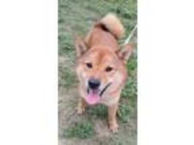 Adopt Akiko JuM a Red/Golden/Orange/Chestnut Shiba Inu / Mixed dog in Rosemont