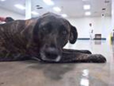 Adopt Ethel a Brindle Plott Hound / Labrador Retriever / Mixed dog in