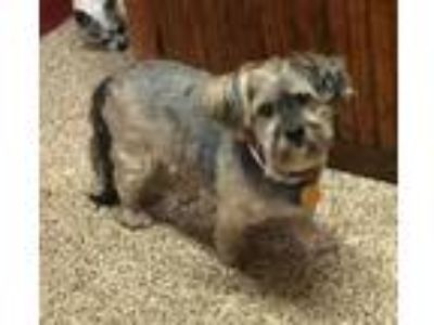Adopt Mattie H a Gray/Silver/Salt & Pepper - with White Standard Schnauzer /