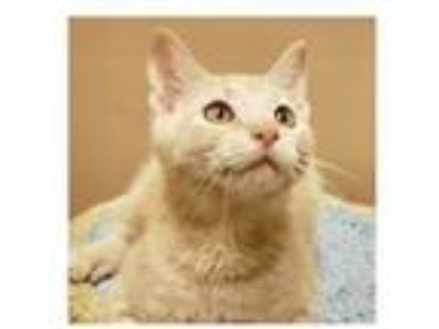 Adopt Carpenter (PetValu Sicklerville) a Domestic Short Hair