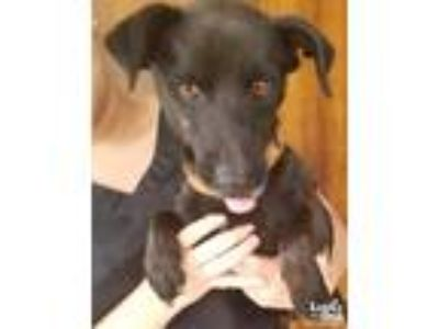 Adopt Blackie a Black Labrador Retriever / Terrier (Unknown Type