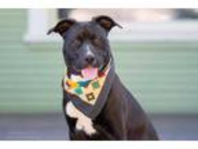 Adopt OSO a Black - with White American Pit Bull Terrier / Labrador Retriever /