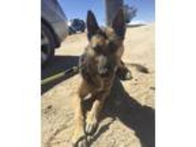 Adopt BULLET a German Shepherd Dog, Mixed Breed