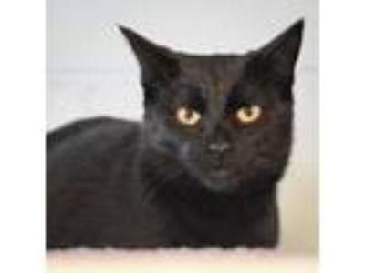 Adopt Jake a All Black Domestic Shorthair / Domestic Shorthair / Mixed cat in