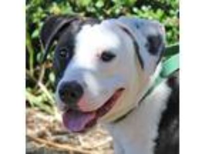 Adopt Grace a White - with Black Pit Bull Terrier / Labrador Retriever / Mixed
