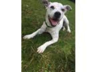 Adopt Dot a White - with Black Cattle Dog / American Pit Bull Terrier / Mixed