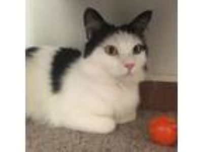 Adopt Angelo a Domestic Short Hair