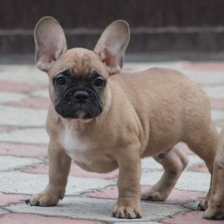 French Bulldog PUPPY FOR SALE ADN-105000 - AKC Boris