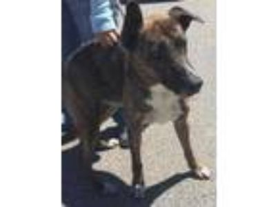 Adopt Beau a Brindle Shepherd (Unknown Type) / Mixed dog in Gainesville