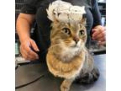 Adopt Bisky a Brown or Chocolate Domestic Shorthair / Domestic Shorthair / Mixed