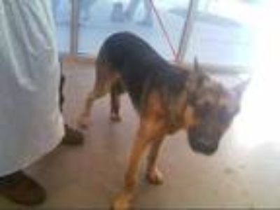 Adopt CHEROKEE a Brown/Chocolate - with Black German Shepherd Dog / Mixed dog in