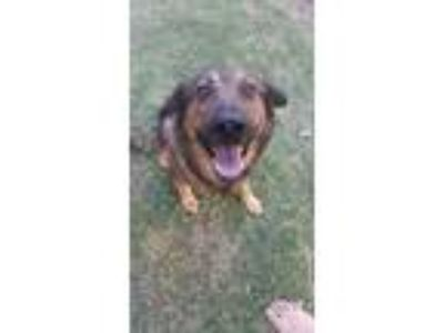 Adopt Django a Black - with Brown, Red, Golden, Orange or Chestnut German