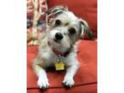 Adopt Masie a Gray/Silver/Salt & Pepper - with White Cairn Terrier / Mixed dog