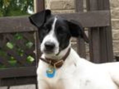 Adopt Petunia- Foster to Adopt a White - with Black English Setter / German