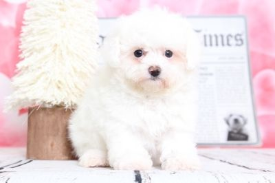 Poochon PUPPY FOR SALE ADN-70531 - Lulu Stunning Cream PooChon Puppy