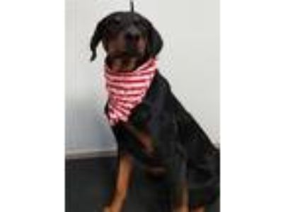Adopt Bo a Black - with Tan, Yellow or Fawn Doberman Pinscher / Mixed dog in