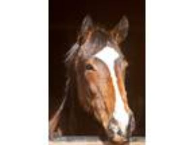 Gabriel 9yr Thoroughbred Athletic Brave OTTB