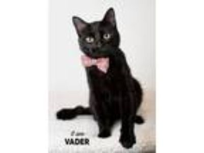 Adopt Vader a Domestic Short Hair