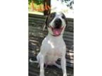 Adopt Lady a White American Pit Bull Terrier / Mixed dog in Moultrie