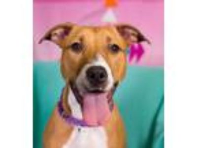 Adopt Coco a American Pit Bull Terrier / Mixed dog in Troutdale, OR (25570783)
