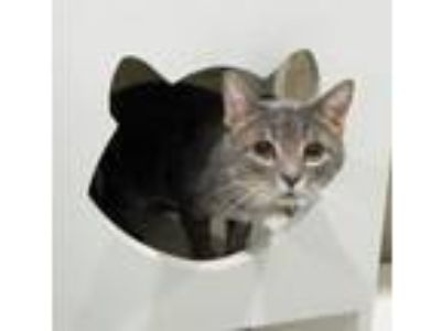 Adopt Slighty a Domestic Short Hair