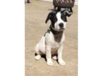 Adopt Muffin a White - with Black American Pit Bull Terrier / Mixed Breed
