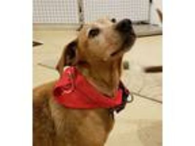 Adopt Angie and Maybell a Tan/Yellow/Fawn Labrador Retriever / Mixed dog in