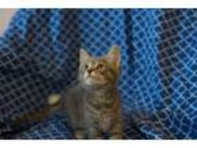 Adopt Rapture a Domestic Shorthair / Mixed cat in Westmont, IL (25920995)