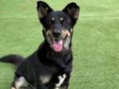 Adopt MOONA a German Shepherd Dog, Mixed Breed