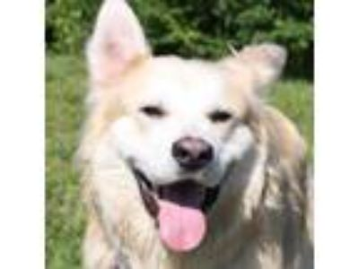 Adopt Gucci a Tan/Yellow/Fawn Husky / Mixed dog in Ann Arbor, MI (25882719)