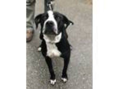 Adopt Harmony a Pit Bull Terrier / Mixed dog in Silverdale, WA (25896034)