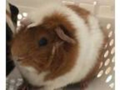 Adopt Clark a White Guinea Pig / Guinea Pig / Mixed small animal in Carson City