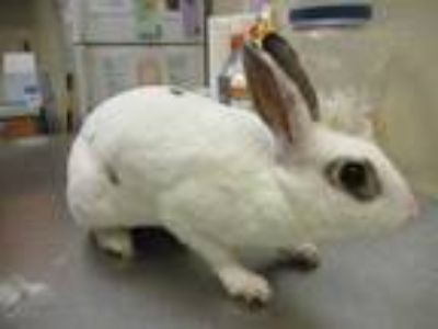 Adopt Cucumber a White English Spot / English Spot / Mixed rabbit in Houston