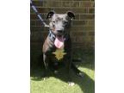 Adopt Bubbles a American Staffordshire Terrier, Pit Bull Terrier
