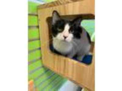 Adopt Avenger a White Domestic Shorthair / Domestic Shorthair / Mixed cat in