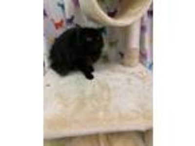Adopt cici a All Black Domestic Mediumhair / Domestic Shorthair / Mixed cat in