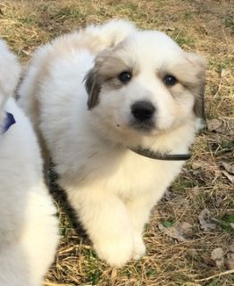 Great Pyrenees PUPPY FOR SALE ADN-112408 - CKC Great Pyrenees Puppies