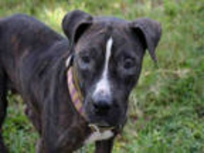 Adopt SUNAE a Brindle - with White American Staffordshire Terrier / Mixed dog in