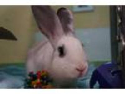 Adopt RILEY a White Other/Unknown / Mixed rabbit in Norfolk, VA (25323818)